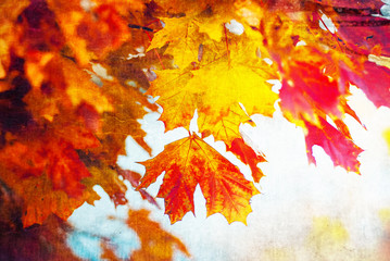 Colored maple leaves,