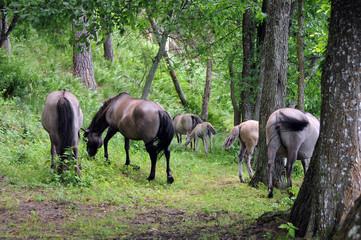 Dziki koń - Tarpan 3