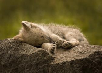 süßer Babywolf