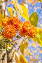 Orange chrysanthemums in autumn day