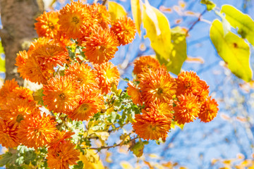 Bouquet of orange chrysanthemums on a sunny autumn day