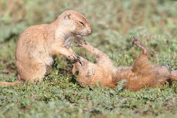 Fotoväggar - Black-tailed Prairie Dogs (Cynomys ludovicianus)