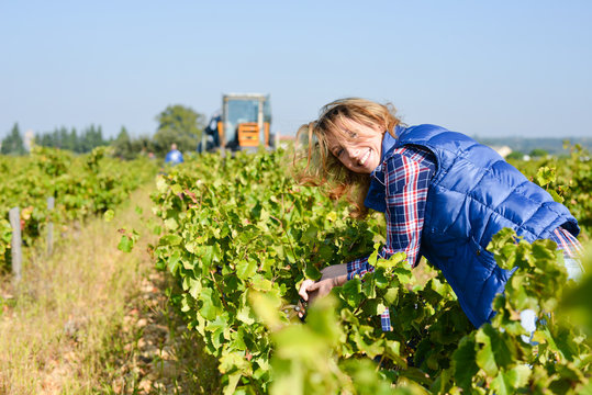 cheerful young woman harvesting grapes in vineyard