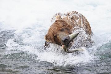USA, Alaska, Katmai National Park, Brown bear Ursus arctos at Brooks Falls with caught salmon