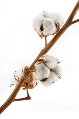 Cotton isolated on white