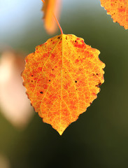 autumn leaf aspen