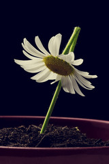 Single white daisy in a flower pot