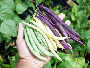 Fresh green beans in man's hand.