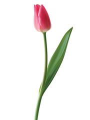 Tulip isolated. Vector illustration