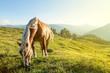 Horse on mountain pasture