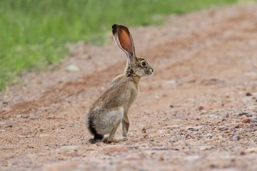 Fotoväggar - Black-tailed Jackrabbit (Lepus californicus)
