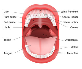 Human Mouth anatomy