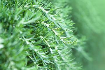 Fresh Rosemary Herb growing in garden