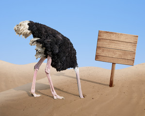 Poster Struisvogel scared ostrich burying head in sand near blank wooden signboard
