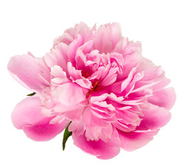 Obraz Blooming pink peony isolated on white background. - fototapety do salonu