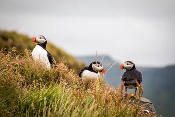 Trois 3 Macareux moine oiseau en Islande