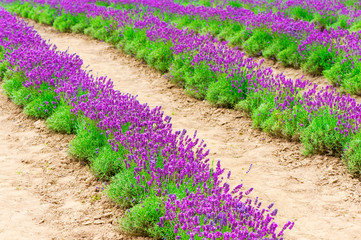 Plantation of young blossoming lavender. Bed of lavender plant.