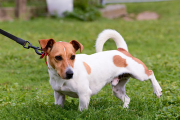 Jack Russell dog peeing