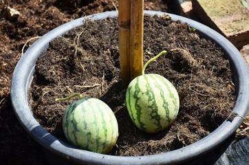 Small Watermelon in garden