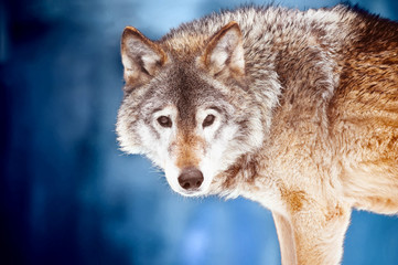 Closeup portrait of a wild wolf