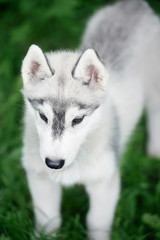 Puppy of Siberian husky is standing on green grass