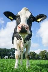 Neugierig blickende Kuh, Froschperspektive