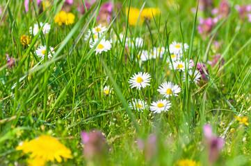 Fototapete - Bunte Frühlingswiese, Wiesenblumen