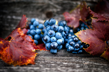Foto auf Leinwand Weinberg Ripe grapes on autumn harvest at vineyard with leaves