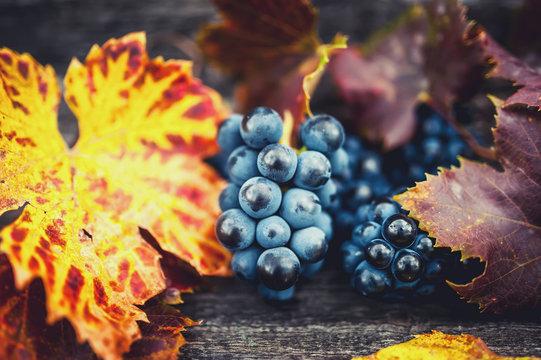 Fresh, bio and organic ripe grapes harvest at vineyard with wood