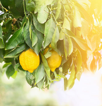 Lemons on  branch on sunlight in garden