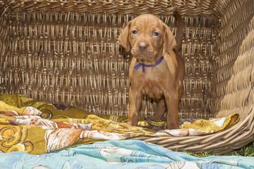 puppy of Hungarian hound in a wicker basket on garden Viszla