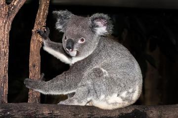 Koala sitting on a tree branch.
