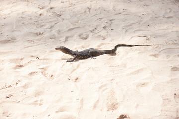 Baby iguana on beach sand