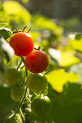 Ripe Petit Tomato in Garden