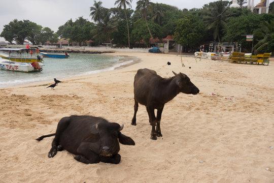 Water Buffalo on Beach
