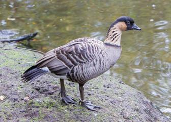 Hawaiian goose, Branta sandvicensis