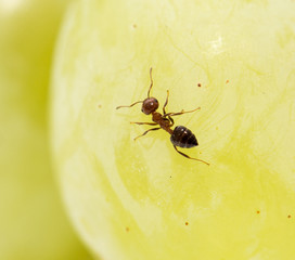 ant on green grapes. close-up