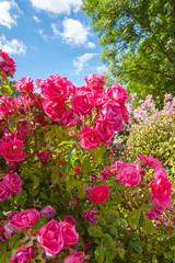 Pink roses in the Garden of Eden