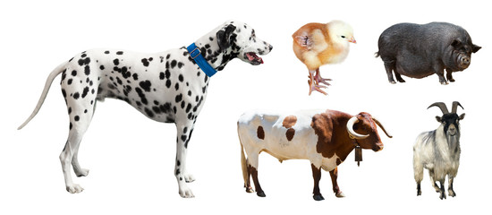 Dalmatian and other farm animals. Isolated over white