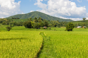 Rice field in the morning in Thailand