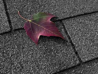Red maple leaf on asphalt shingles
