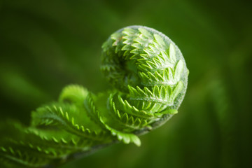 Macro photo of young fern sprout with selective focus Wall mural
