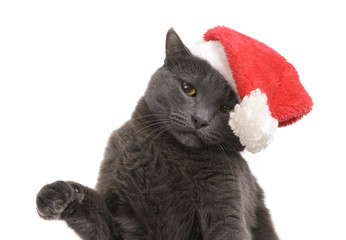 Christmas cat - Gray Cat Santa, Christmas pet in the Santa hat