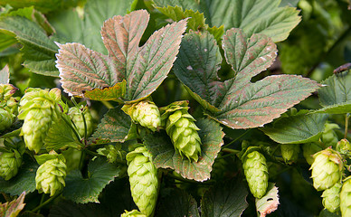 Hops with autumn color