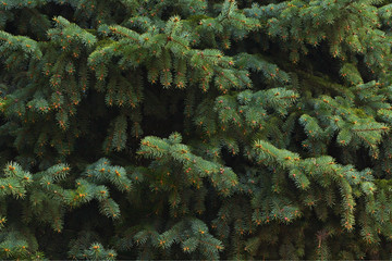 green fir tree branches, can be used as a background