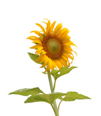 Sunflower isolated on white background