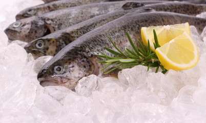Fresh rainbow trout on cool ice with lemon