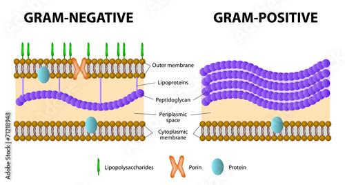 Gram positive and gram negative bacteria imagens e vetores de stock gram positive and gram negative bacteria ccuart Gallery