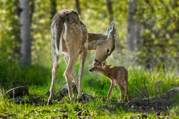 Fototapete - White-Tailed Deer (Odocoileus virginianus) Licks Her Fawn