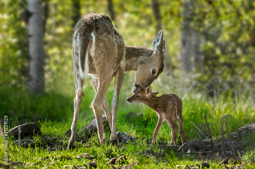 Fotomurales White-Tailed Deer (Odocoileus virginianus) Licks Her Fawn